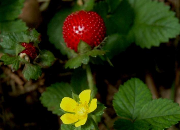 grote hang aardbeienplant